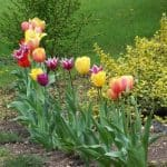 craftsbyamanda.com tulips