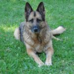 Angel, My Beloved German Shepherd