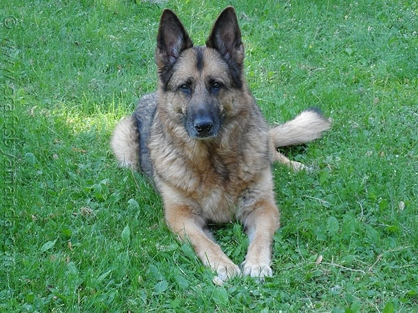 My German Shepherd, Angel