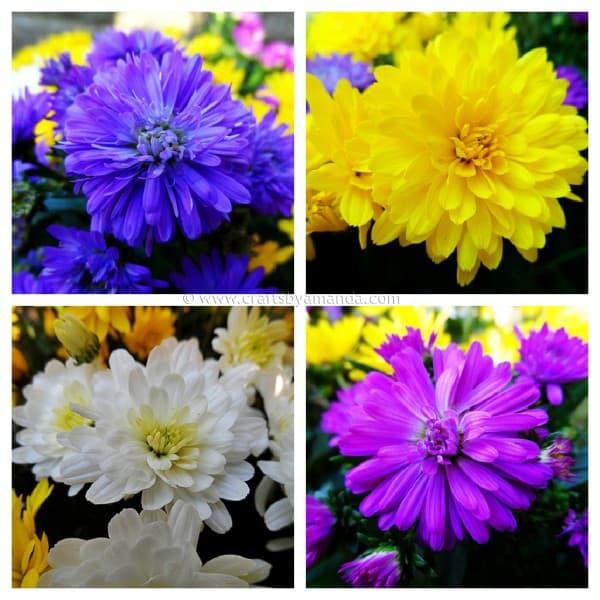 planting mums craftsbyamanda.com