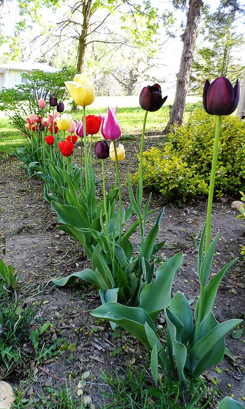 About Growing Tulips at CraftsbyAmanda.com @amandaformaro