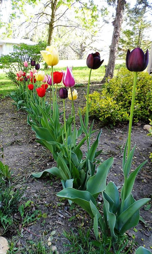 About Growing Tulips at CraftsbyAmanda.com @amandaformaro