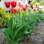 About Growing Tulips