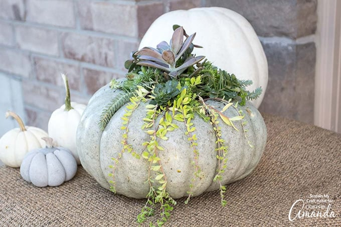 Pumpkin with succulents planted inside
