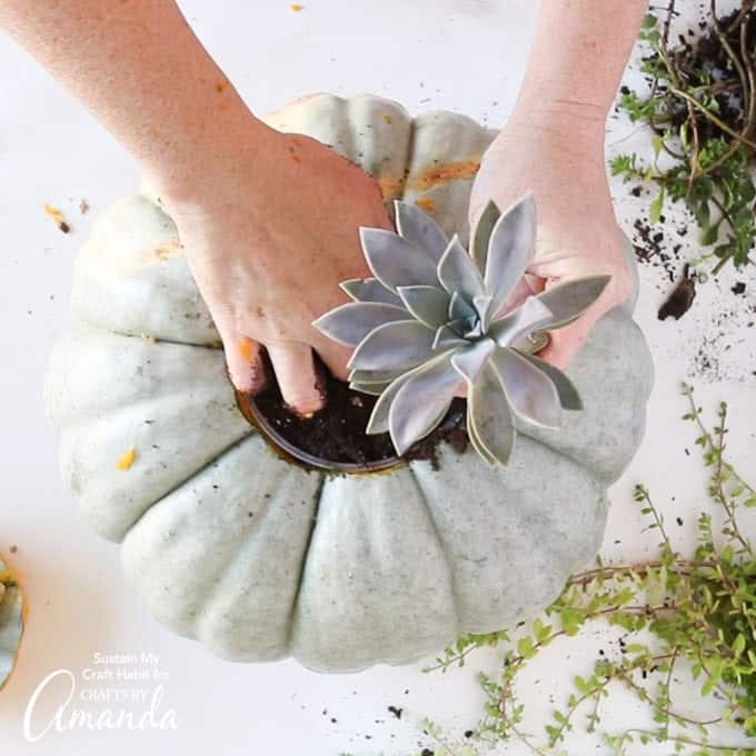 Adding succulent to pumpkin